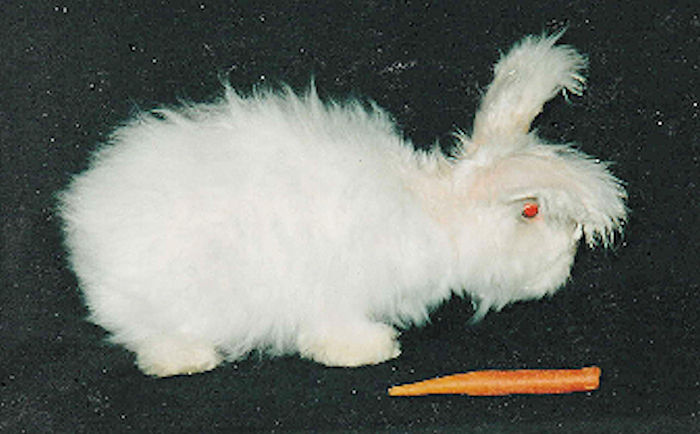 Silky Angora Rabbit