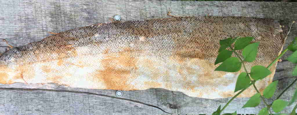 Salmon Tanned with Birch bark